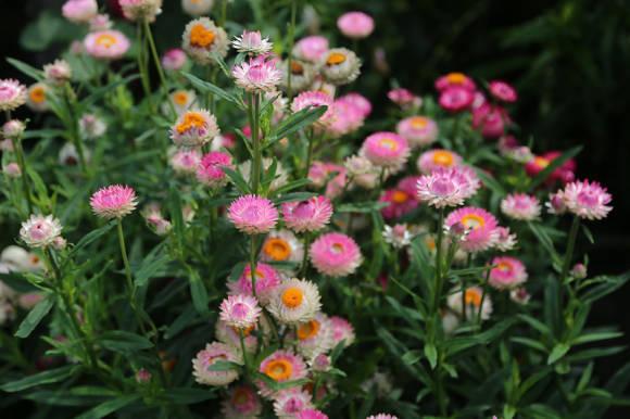 Гелихризум прицветниковый (Helichrysum bracteatum) Альянс, смесь