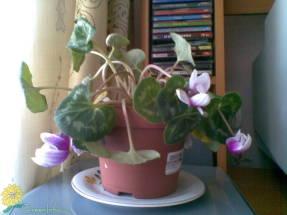 Повторное цветение стареющего растения