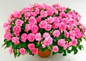 Diadem Pink – оптимальны в контейнерах